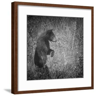 Black Bear Cub-Roberta Murray-Framed Photographic Print