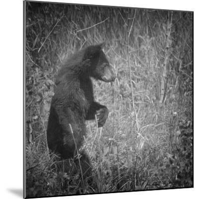 Black Bear Cub-Roberta Murray-Mounted Photographic Print