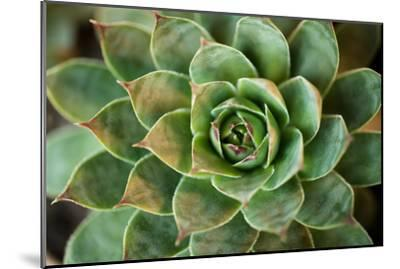 Sempervivum Rupicolum II-Erin Berzel-Mounted Photographic Print