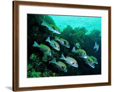 A Shoal of Speckled Sweetlips (Plectorhinchus Fishes)-Andrea Ferrari-Framed Photographic Print