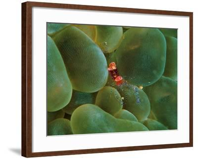 Symbiont Shrimp Caught by the Tentacles of a Bubble Coral-Andrea Ferrari-Framed Photographic Print