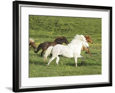 Icelandic Horses Running Across Meadow, Iceland-Mark Hamblin-Framed Photographic Print