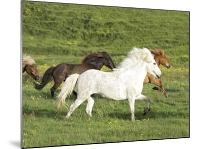 Icelandic Horses Running Across Meadow, Iceland-Mark Hamblin-Mounted Photographic Print