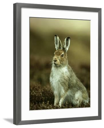 Mountain Hare, Adult in Spring, Scotland-Mark Hamblin-Framed Photographic Print