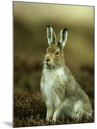 Mountain Hare, Adult in Spring, Scotland-Mark Hamblin-Mounted Photographic Print