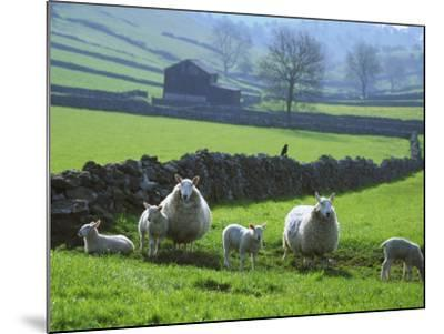 Sheep Ovis Aries-Mark Hamblin-Mounted Photographic Print