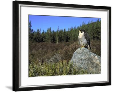 Peregrine Falcon, Adult Male on Rock Showing Moorland Habitat, Scotland-Mark Hamblin-Framed Photographic Print