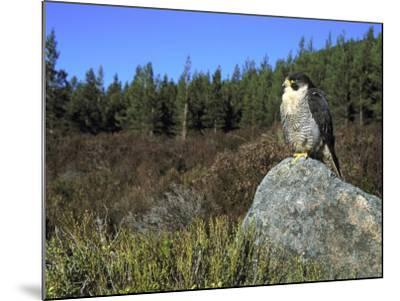 Peregrine Falcon, Adult Male on Rock Showing Moorland Habitat, Scotland-Mark Hamblin-Mounted Photographic Print
