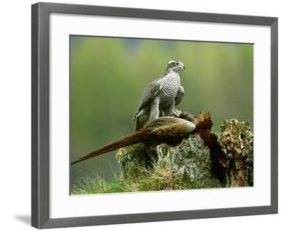 Goshawk, Feeding on Pheasant, Scotland-Mark Hamblin-Framed Photographic Print