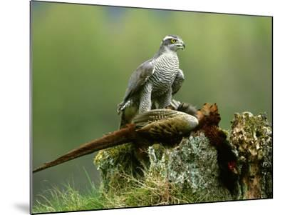 Goshawk, Feeding on Pheasant, Scotland-Mark Hamblin-Mounted Photographic Print