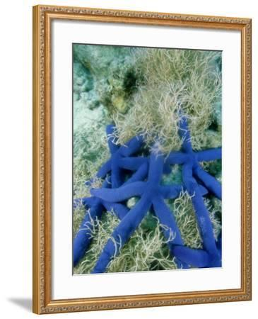 Star Fish, Cluster Crowding in Sea Weed, Tonga-Tobias Bernhard-Framed Photographic Print