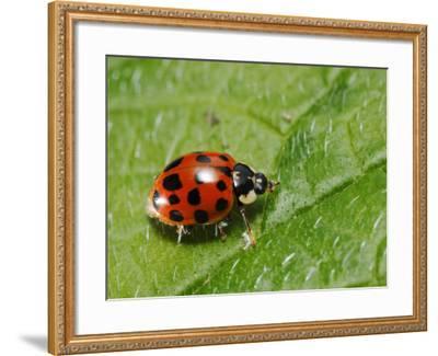 Harlequin Ladybird on Alkanet Leaf, London, UK-Elliot Neep-Framed Photographic Print