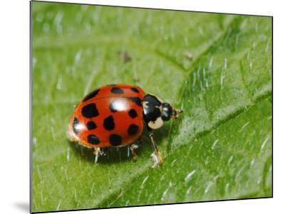 Harlequin Ladybird on Alkanet Leaf, London, UK-Elliot Neep-Mounted Photographic Print