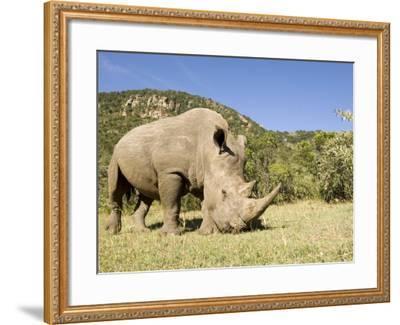 White Rhino, Breeding Animal for Introduction Eleswhere in Kenya, Kenya-Mike Powles-Framed Photographic Print