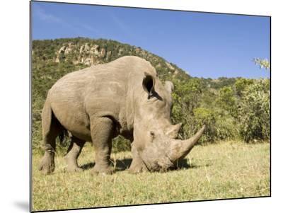 White Rhino, Breeding Animal for Introduction Eleswhere in Kenya, Kenya-Mike Powles-Mounted Photographic Print
