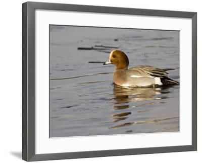 Wigeon, Male in Breeding Plumage, UK-Mike Powles-Framed Photographic Print