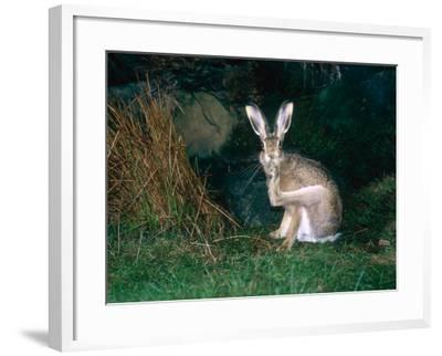 Brown Hare, Grooming, UK-Mary Plage-Framed Photographic Print
