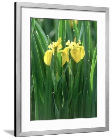 Yellow Iris, Caithness, Scotland-Iain Sarjeant-Framed Photographic Print
