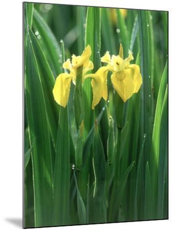 Yellow Iris, Caithness, Scotland-Iain Sarjeant-Mounted Photographic Print
