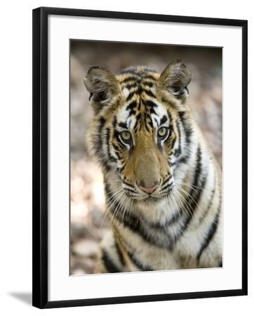 Bengal Tiger, Close-up Portrait of Female Tiger, Madhya Pradesh, India-Elliot Neep-Framed Photographic Print