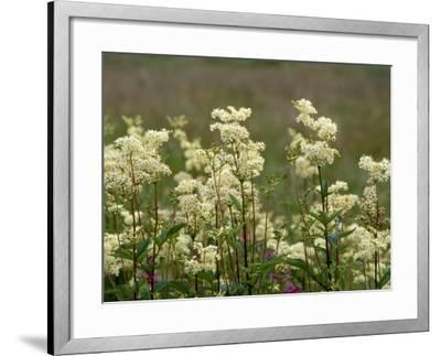 Meadowsweet, Orkeney Mainland-Iain Sarjeant-Framed Photographic Print