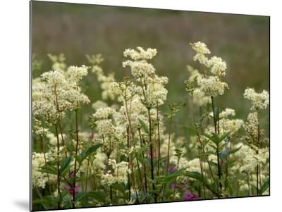 Meadowsweet, Orkeney Mainland-Iain Sarjeant-Mounted Photographic Print