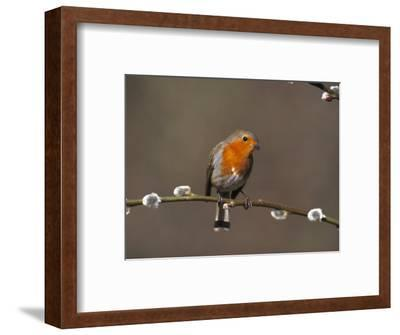 Robin, Perched on Pussy Willow, UK-Mark Hamblin-Framed Photographic Print