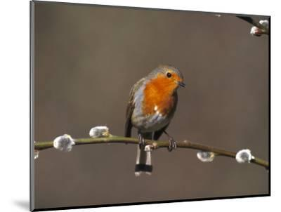 Robin, Perched on Pussy Willow, UK-Mark Hamblin-Mounted Photographic Print