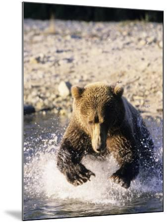 Alaskan Brown Bear, Large Male Catching Salmon in Water, Alaska-Daniel J. Cox-Mounted Photographic Print