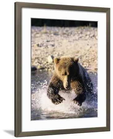Alaskan Brown Bear, Large Male Catching Salmon in Water, Alaska-Daniel J. Cox-Framed Photographic Print