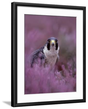Peregrine Falcon, Falco Peregrinus Male Amongst Heather-Mark Hamblin-Framed Photographic Print