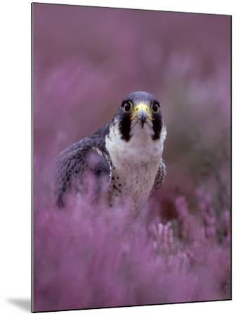 Peregrine Falcon, Falco Peregrinus Male Amongst Heather-Mark Hamblin-Mounted Photographic Print