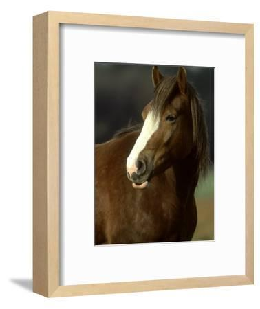 Horse, Chestnut & White Portrait-Mark Hamblin-Framed Photographic Print
