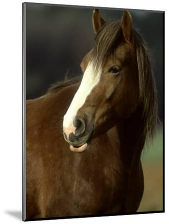 Horse, Chestnut & White Portrait-Mark Hamblin-Mounted Photographic Print
