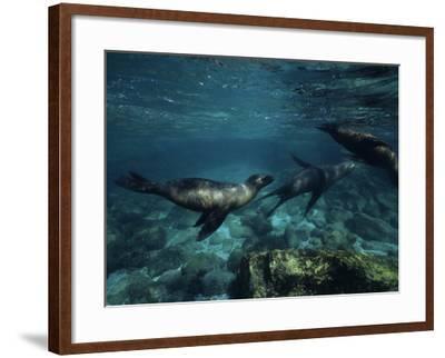 Californian Sea Lion, Underwater, Baja California-Gerard Soury-Framed Photographic Print