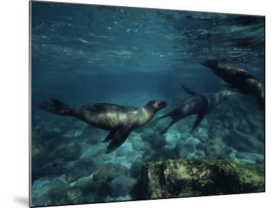 Californian Sea Lion, Underwater, Baja California-Gerard Soury-Mounted Photographic Print