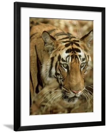 Tiger, Portrait, India-Satyendra K^ Tiwari-Framed Photographic Print