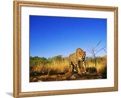 Cheetah, Snarling at Camera, South Africa-David Tipling-Framed Photographic Print