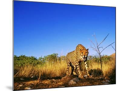 Cheetah, Snarling at Camera, South Africa-David Tipling-Mounted Photographic Print