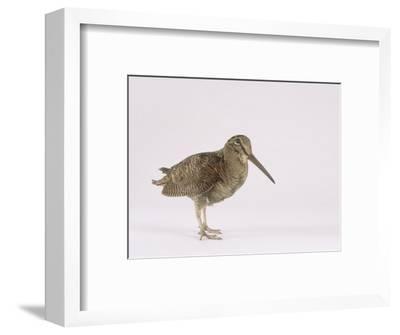 Woodcock, St. Tiggywinkles, UK-Les Stocker-Framed Photographic Print