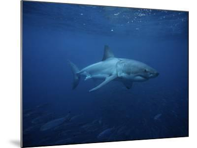 Great White Shark, Swimming, South Australia-Gerard Soury-Mounted Photographic Print