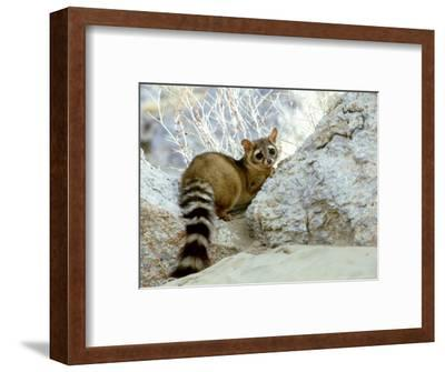 Ringtail Cat, USA-Wendy Shattil & Bob Rozinski-Framed Photographic Print