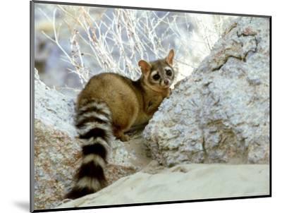 Ringtail Cat, USA-Wendy Shattil & Bob Rozinski-Mounted Photographic Print