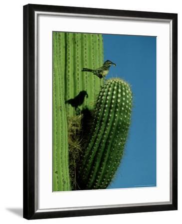 Cactus Wren, with Food, Saguaro, NM-Stan Osolinski-Framed Photographic Print