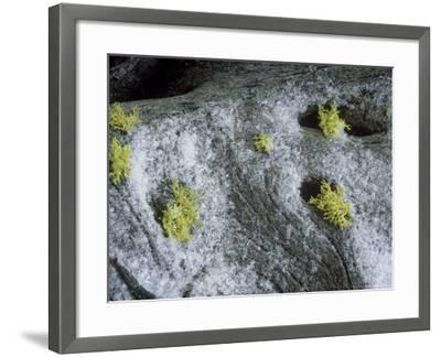 Wolf Lichen, Growing with Snow, USA-Stan Osolinski-Framed Photographic Print