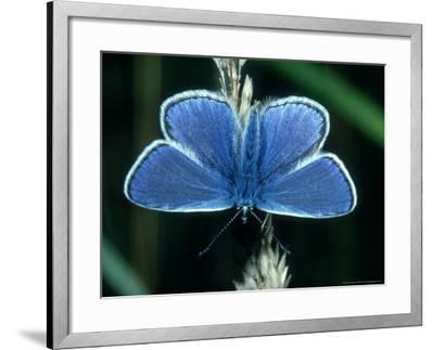 Common Blue, Male, Essex-Alastair Shay-Framed Photographic Print