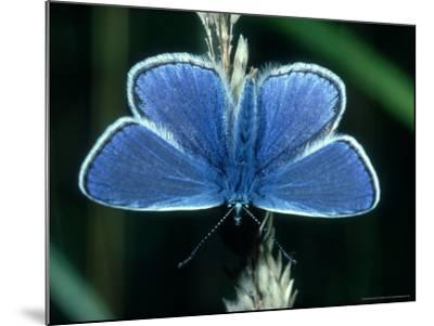 Common Blue, Male, Essex-Alastair Shay-Mounted Photographic Print