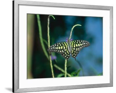 Tailed Jay, Aviary Animal-Stan Osolinski-Framed Photographic Print