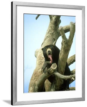 Malayan Sun Bear, Yawning, Zoo Animal-Stan Osolinski-Framed Photographic Print
