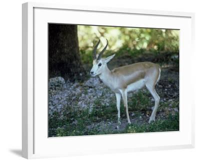 Goitered Gazelle, Male, Zoo Animal-Stan Osolinski-Framed Photographic Print